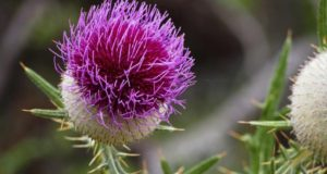 milk thistle-supplement